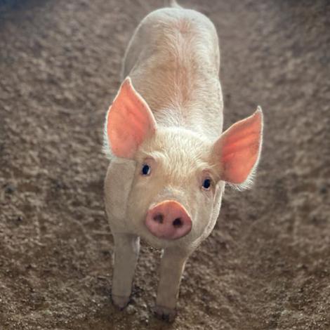 2. Nutrición Porcinos